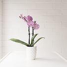 Purple orchid against white  by Natalie Board