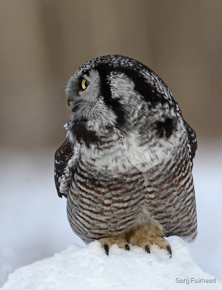 NHO Profile / Northern Hawk Owl by Gary Fairhead