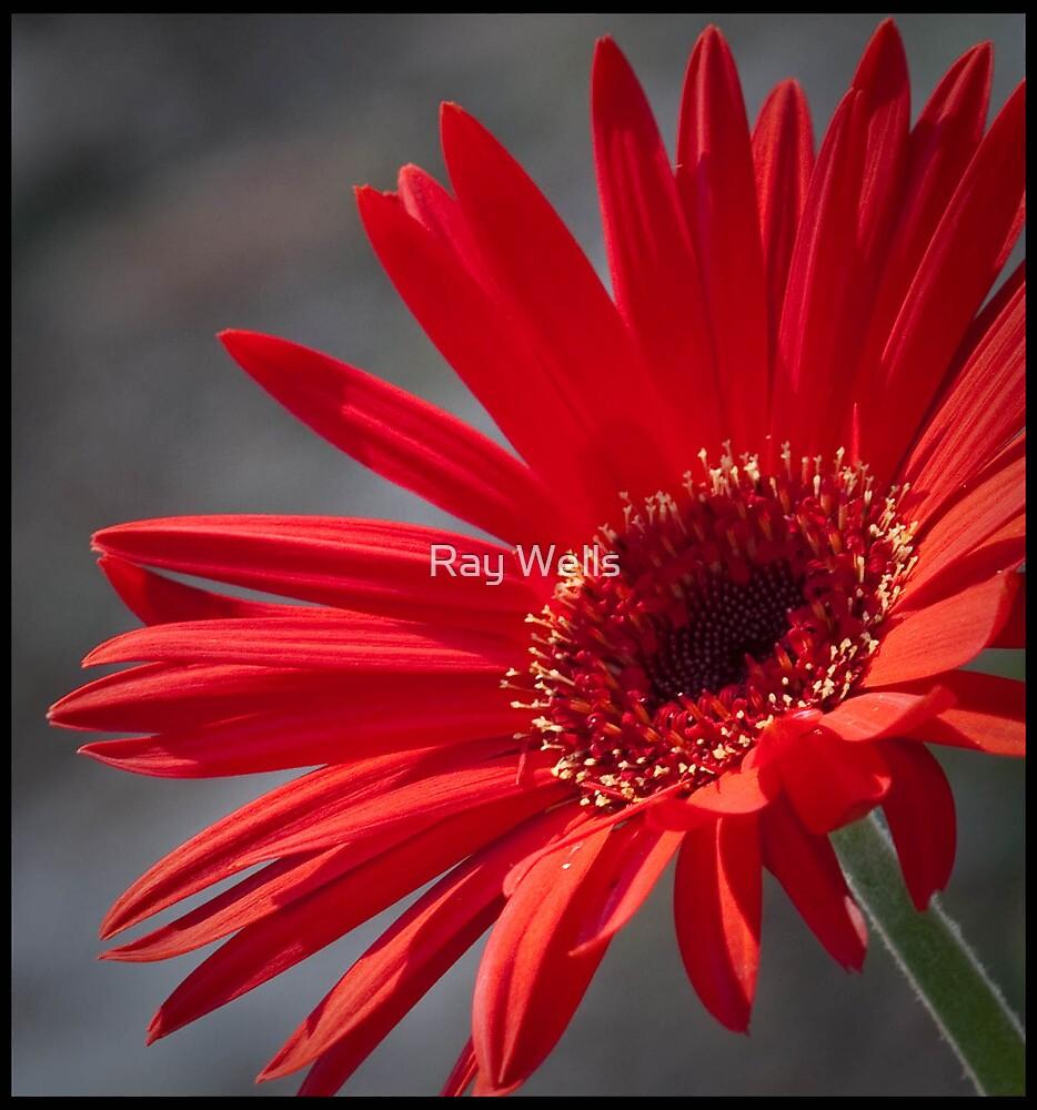 Gerberia Daisy by Ray Wells