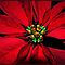 Poinsettia in Macro or Extreme Close Up ~ Peace Love & Tranquility