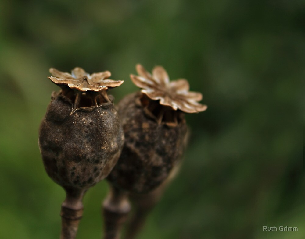 Dried Poppy by Ruth Grimm