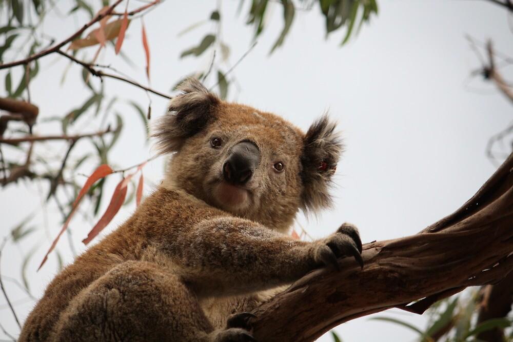 Curious Koala looking at me by Weggs