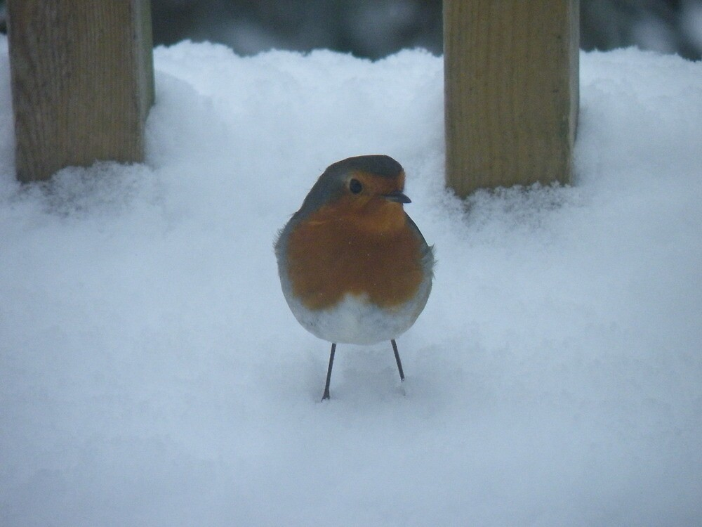 Snow Robin by Graham McMullan