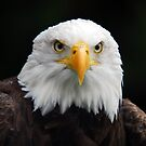 American Bald Eagle by Alain Turgeon