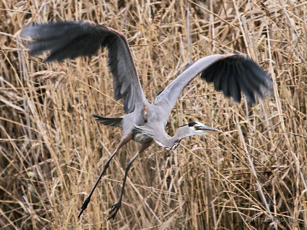 Great Blue Heron by Dennis Cheeseman
