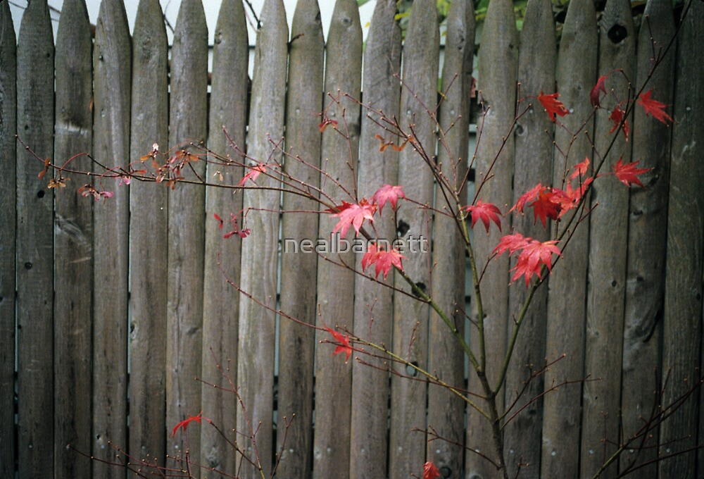 Maple and fence by nealbarnett