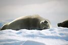 Crabeater Seal Enjoying the Sun by Carole-Anne