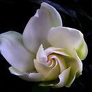 Gardenia by Margaret Barry