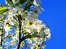 Bartlett Pear Tree Bloom by barnsis