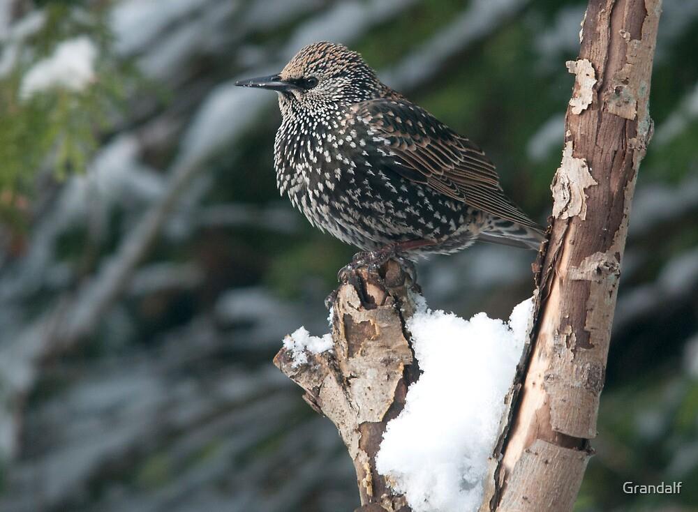 starling by Grandalf