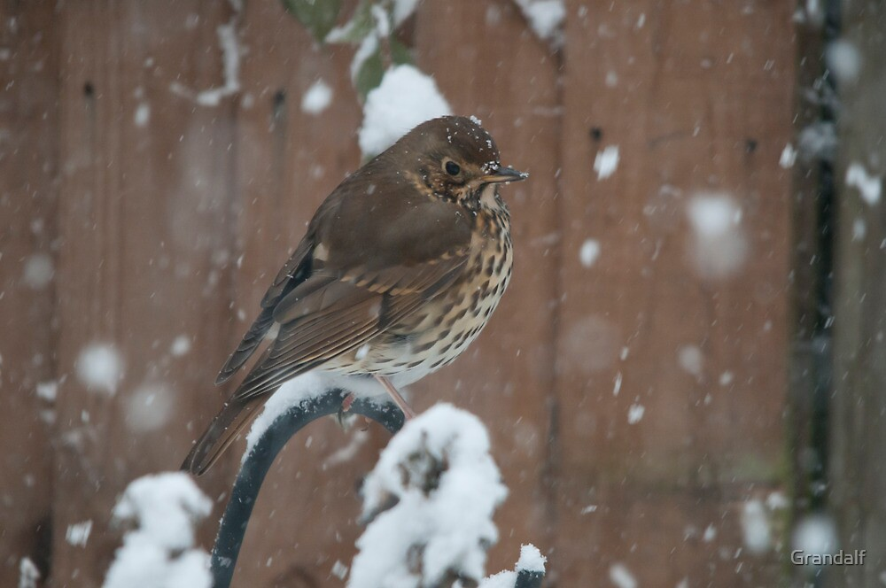 song thrush I really don't like all this snow by Grandalf