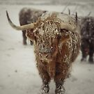 Highlands Snow Coo by Brian Kerr