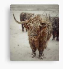 Highlands Snow Coo Canvas Print