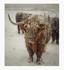 Highlands Snow Coo Photographic Print