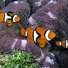 Triple Clown by Reef Ecoimages