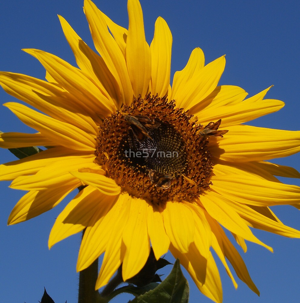 Sunflower Daisy by the57man
