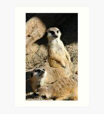 Meekats at Lowry Park Zoo Art Print
