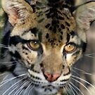 Clouded Leopard at Lowry Park Zoo by Sheryl Unwin