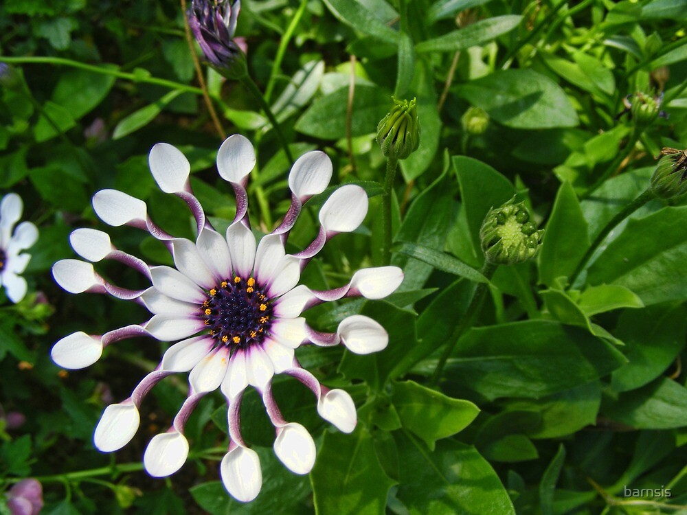 African Daisy by barnsis