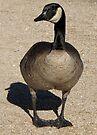 Canada Goose by Kimberly Chadwick