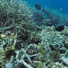 Tetepare Staghorn II by Reef Ecoimages