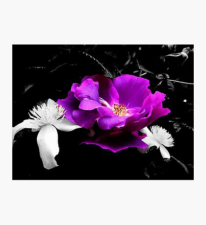 ARose between two.....clematis Photographic Print