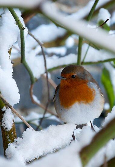 Robin by Jonny Andrews