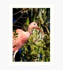 Pink Ibis at Lowry Park Zoo Art Print