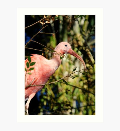 Pink Ibis at Lowry Park Zoo Art Print