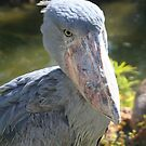Shoebill Stork at Lowry Park Zoo by Sheryl Unwin
