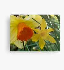 Daffodils of different sizes -  Metal Print
