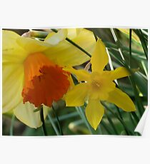 Daffodils of different sizes -  Poster