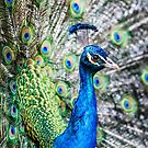 Resident Peacock by Susan Moss