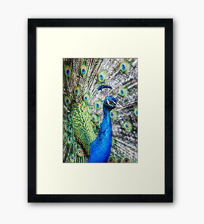 Resident Peacock Framed Print