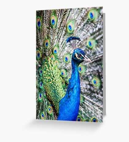Resident Peacock Greeting Card