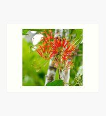 Flowering Queensland Firewheel Tree  Art Print