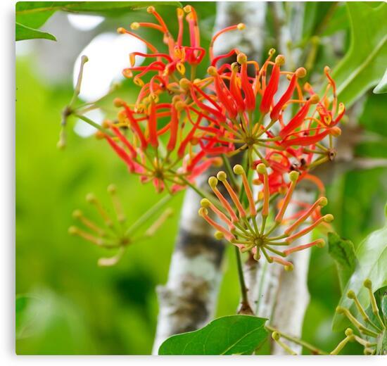 Flowering Queensland Firewheel Tree  by Kerryn Madsen-Pietsch
