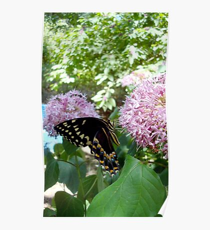 Giant Swallowtail Butterfly in profile Poster
