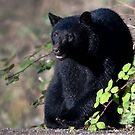 A Bear for the Taking by David Friederich