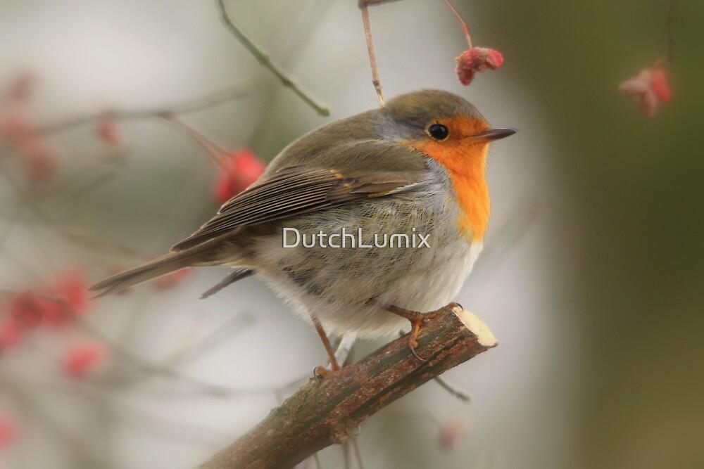 The European Robin (Erithacus rubecula) 2 by DutchLumix