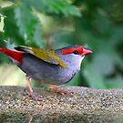 """"""" Firetail Finch"""" by helmutk"""