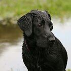 Black Lab - just taken a dip by Phil Evitt