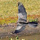 Cormorant in flight by Anthony Goldman