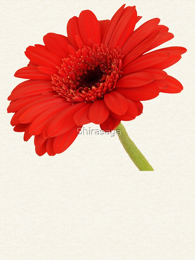 Red Gerbera Daisy by Shirasaya