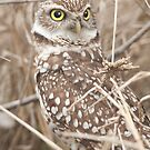 """Get Your Head On Straight"" - Burrowing Owl by ArtThatSmiles"