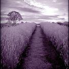Lavender Magic by Kym Howard