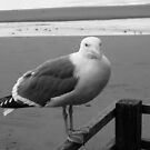 Seagull, Cannon Beach by njwilken