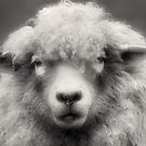 Sheepish Looks by Lance Leopold