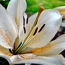 White Lilly by Esherpah