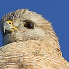 Red shouldered hawk up close by Anthony Goldman